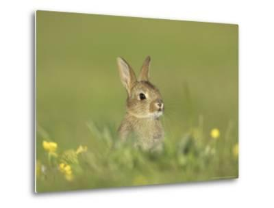 Rabbit, Youngster Emerging from Burrow in Field of Buttercups, Scotland-Mark Hamblin-Metal Print