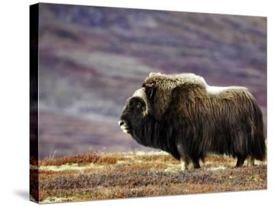 Musk Ox, Adult Female on Tundrain Autumn, Norway-Mark Hamblin-Stretched Canvas Print