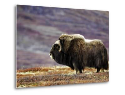Musk Ox, Adult Female on Tundrain Autumn, Norway-Mark Hamblin-Metal Print