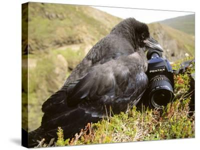 Common Raven, and Camera, Iceland-Philippe Henry-Stretched Canvas Print