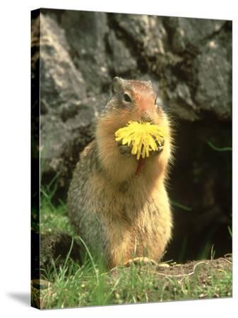 Columbian Ground Squirrel Eating Dandelion Jasper National Park, Canada-Adam Jones-Stretched Canvas Print