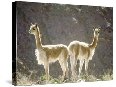 Vicuna, Wild High Andes Cameloid, Peru-Mark Jones-Stretched Canvas Print