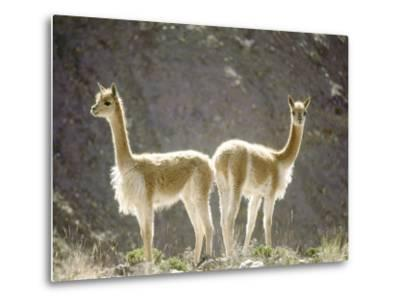 Vicuna, Wild High Andes Cameloid, Peru-Mark Jones-Metal Print