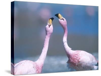 Jamess Flamingo, Males Squabbling, Bolivia-Mark Jones-Stretched Canvas Print