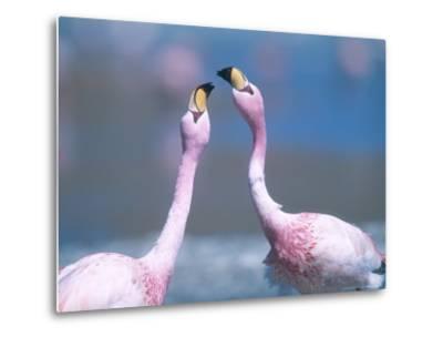 Jamess Flamingo, Males Squabbling, Bolivia-Mark Jones-Metal Print
