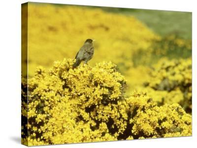 Falkland Thrush, Turdus Falcklandii-Michael Leach-Stretched Canvas Print
