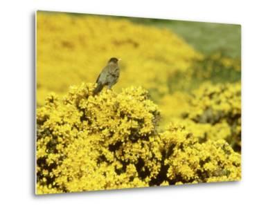 Falkland Thrush, Turdus Falcklandii-Michael Leach-Metal Print
