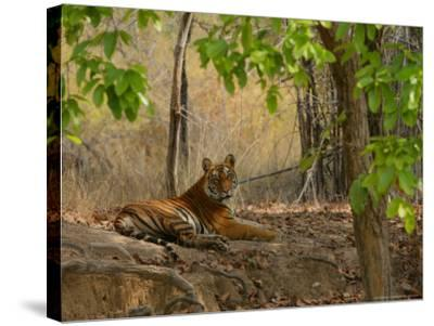 Bengal Tiger, Female Resting, Madhya Pradesh, India-Elliot Neep-Stretched Canvas Print