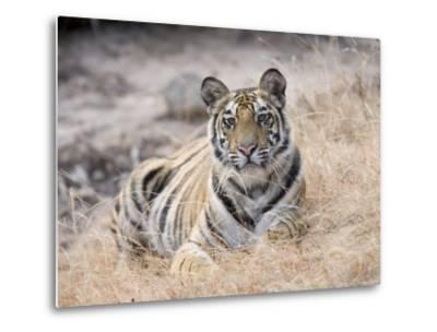 Bengal Tiger, Young Female Lying in Soft Grass, Madhya Pradesh, India-Elliot Neep-Metal Print