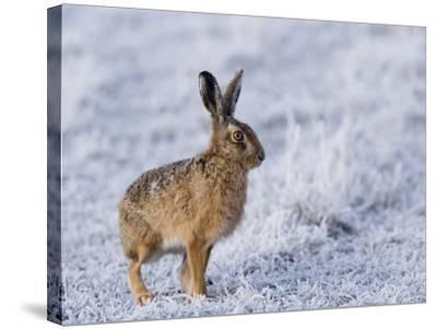 Common Hare, Standing in Haw-Frost Field, Lancashire, UK-Elliot Neep-Stretched Canvas Print