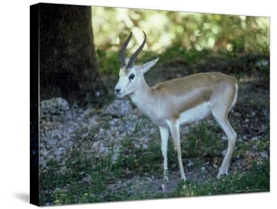 Goitered Gazelle, Male, Zoo Animal-Stan Osolinski-Stretched Canvas Print