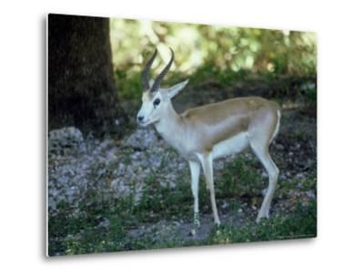 Goitered Gazelle, Male, Zoo Animal-Stan Osolinski-Metal Print