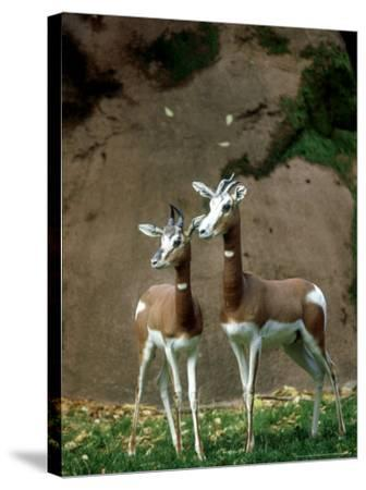 Mhorr Gazelle, Females, Zoo Animal-Stan Osolinski-Stretched Canvas Print