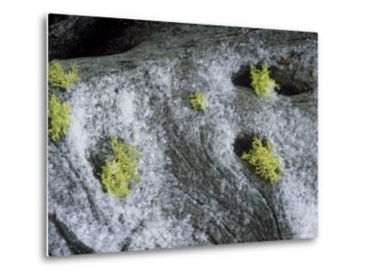 Wolf Lichen, Growing with Snow, USA-Stan Osolinski-Metal Print