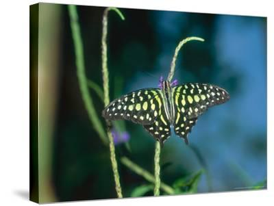 Tailed Jay, Aviary Animal-Stan Osolinski-Stretched Canvas Print