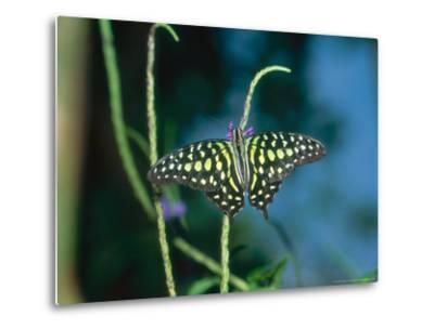Tailed Jay, Aviary Animal-Stan Osolinski-Metal Print