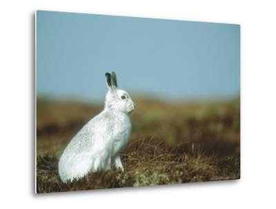 Mountain Hare or Blue Hare, Conspicuous with No Snow, Scotland, UK-Richard Packwood-Metal Print