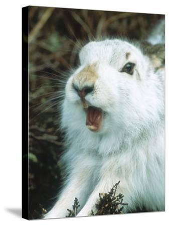 Mountain Hare or Blue Hare, Yawning and Stretching, Scotland, UK-Richard Packwood-Stretched Canvas Print