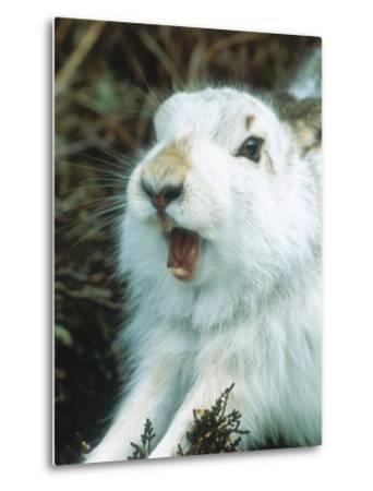 Mountain Hare or Blue Hare, Yawning and Stretching, Scotland, UK-Richard Packwood-Metal Print