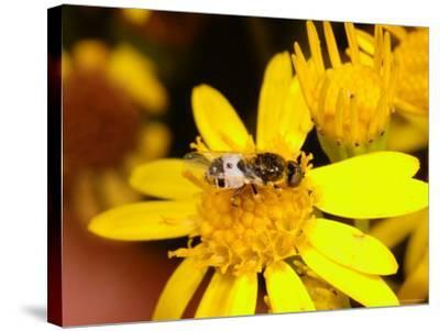 Barred Snout Soldier Fly, Adult Feeding on Yellow Flower, UK-Keith Porter-Stretched Canvas Print