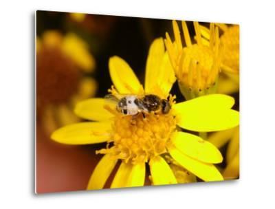 Barred Snout Soldier Fly, Adult Feeding on Yellow Flower, UK-Keith Porter-Metal Print