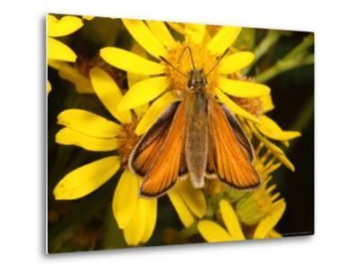 Essex Skipper Butterfly, Adult Feeding from Flower, UK-Keith Porter-Metal Print