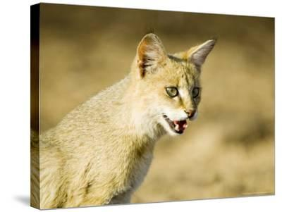 Indian Wild Cat, Ranthambhore, India-Mike Powles-Stretched Canvas Print