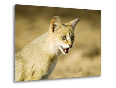 Indian Wild Cat, Ranthambhore, India-Mike Powles-Metal Print