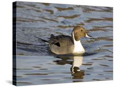 Pintail, Male in Breeding Plumage, UK-Mike Powles-Stretched Canvas Print