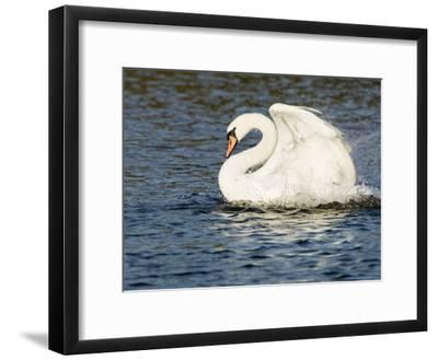 Mute Swan, Splashing During Bathing, UK-Mike Powles-Framed Premium Photographic Print