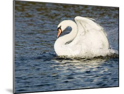 Mute Swan, Splashing During Bathing, UK-Mike Powles-Mounted Premium Photographic Print