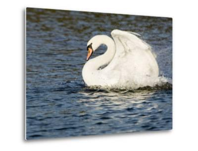 Mute Swan, Splashing During Bathing, UK-Mike Powles-Metal Print