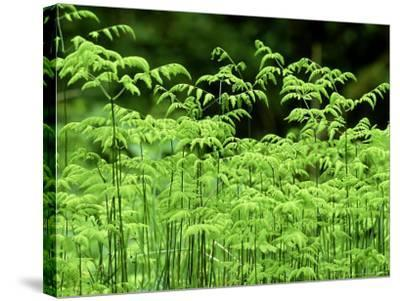 Oak Fern, Inverness-Shire, Scotland-Iain Sarjeant-Stretched Canvas Print