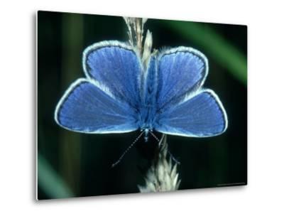 Common Blue, Male, Essex-Alastair Shay-Metal Print