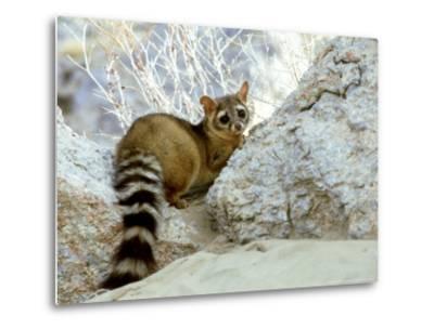 Ringtail Cat, USA-Wendy Shattil & Bob Rozinski-Metal Print