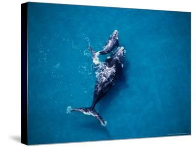 Southern Right Whale, Mother and Calf-Gerard Soury-Stretched Canvas Print