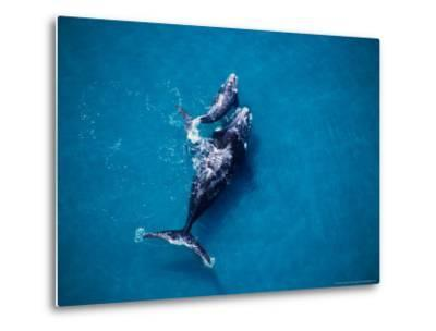 Southern Right Whale, Mother and Calf-Gerard Soury-Metal Print