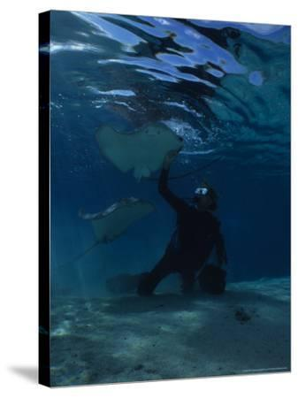 Hawai Sting Ray, with Diver, Polynesia-Gerard Soury-Stretched Canvas Print