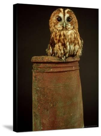 Tawny Owl, UK-Les Stocker-Stretched Canvas Print