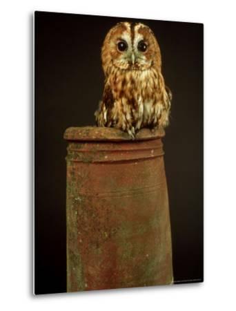 Tawny Owl, UK-Les Stocker-Metal Print