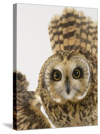 Short-Eared Owl, St. Tiggywinkles Wildlife Hospital, UK-Les Stocker-Stretched Canvas Print