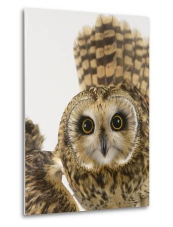 Short-Eared Owl, St. Tiggywinkles Wildlife Hospital, UK-Les Stocker-Metal Print