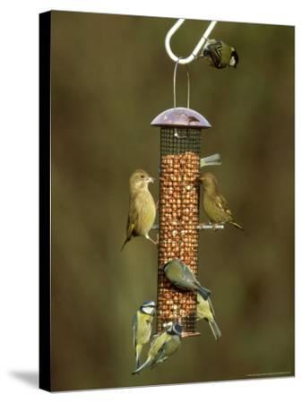Tits and Other Garden Birds on Feeder, Winter-David Tipling-Stretched Canvas Print