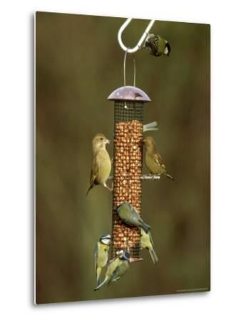 Tits and Other Garden Birds on Feeder, Winter-David Tipling-Metal Print