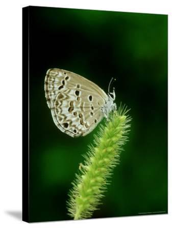 Lime Blue, Bandhavgarh National Park, India-Satyendra K^ Tiwari-Stretched Canvas Print