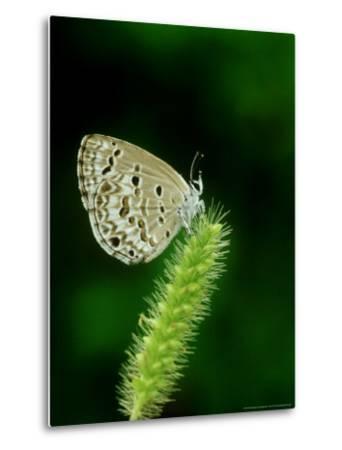 Lime Blue, Bandhavgarh National Park, India-Satyendra K^ Tiwari-Metal Print