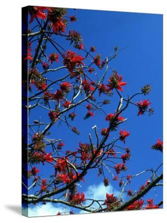 Close-up of Flame Tree with Sky-Michele Burgess-Stretched Canvas Print