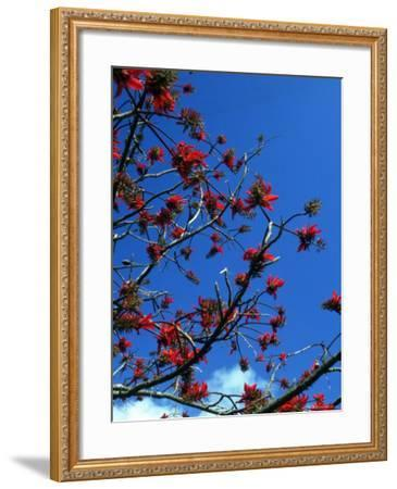 Close-up of Flame Tree with Sky-Michele Burgess-Framed Photographic Print