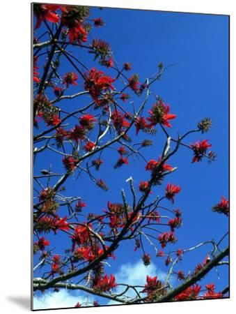 Close-up of Flame Tree with Sky-Michele Burgess-Mounted Photographic Print