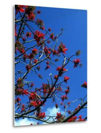 Close-up of Flame Tree with Sky-Michele Burgess-Metal Print